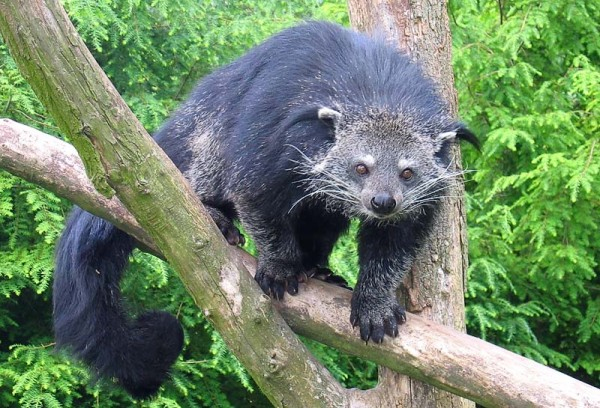 Binturong in Overloon photo taken by Tassilo Rau
